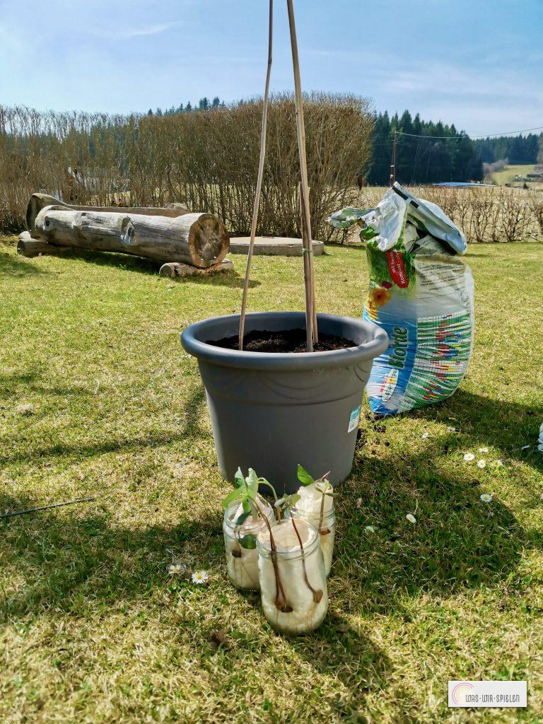 Wir pflanzen die Bohnen um