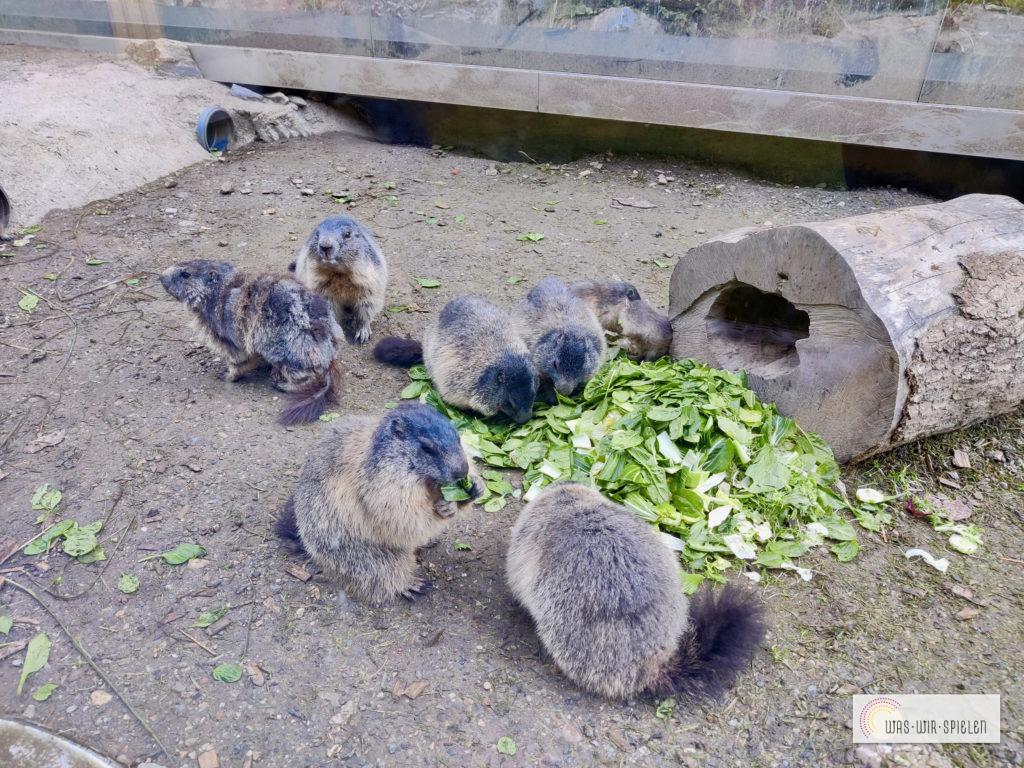 Murmeltiere füttern